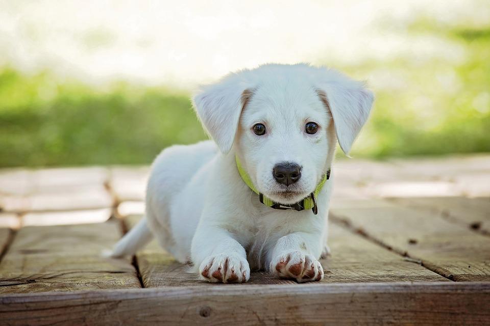 Cachorro, Perro, Mascota, Animales, Lindo, Blanco