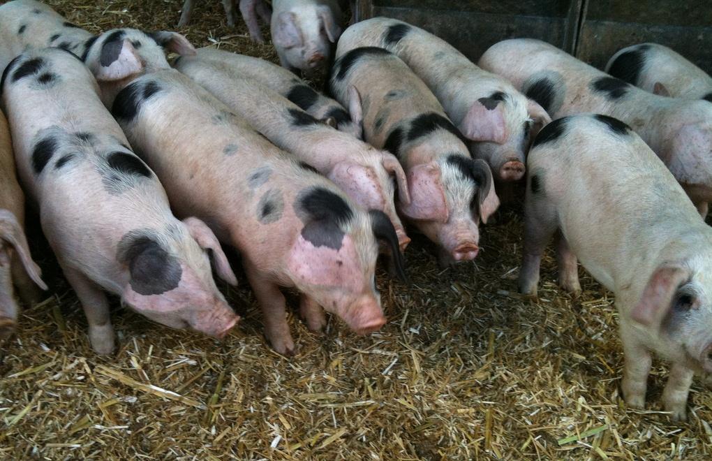 Отравленная кленбутеролом свинина