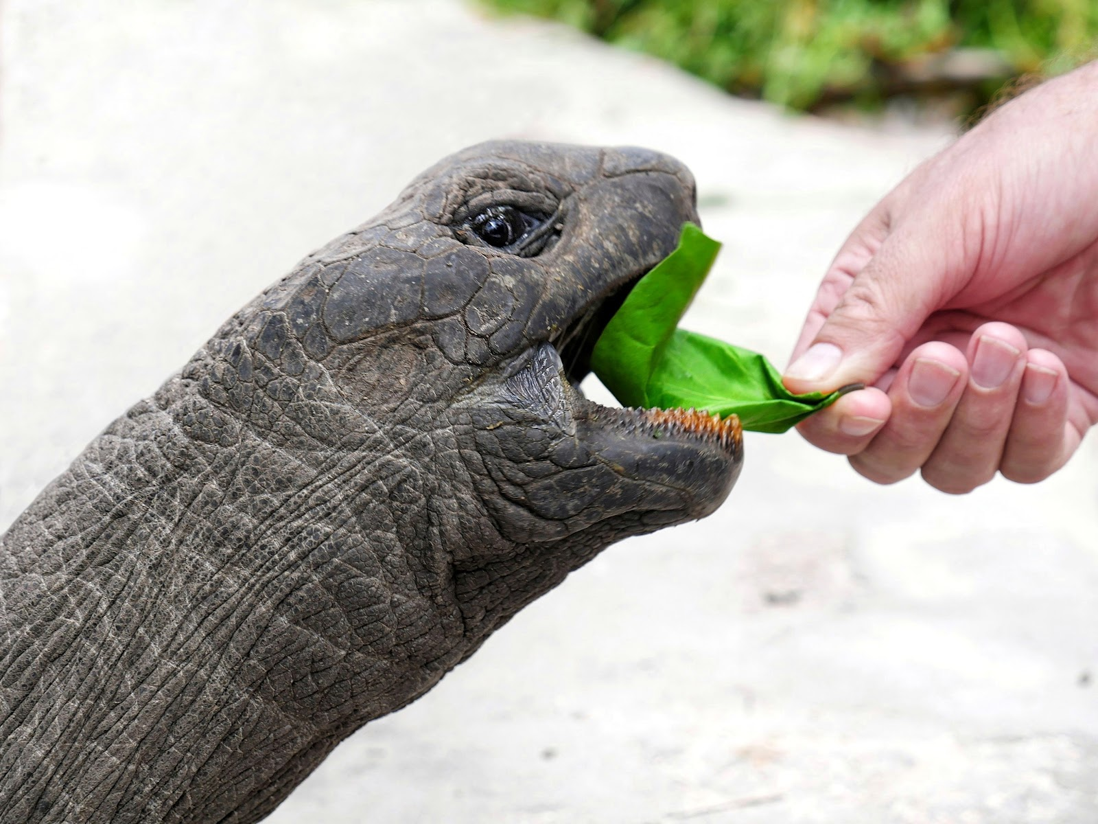 Tortoise eating leaf
