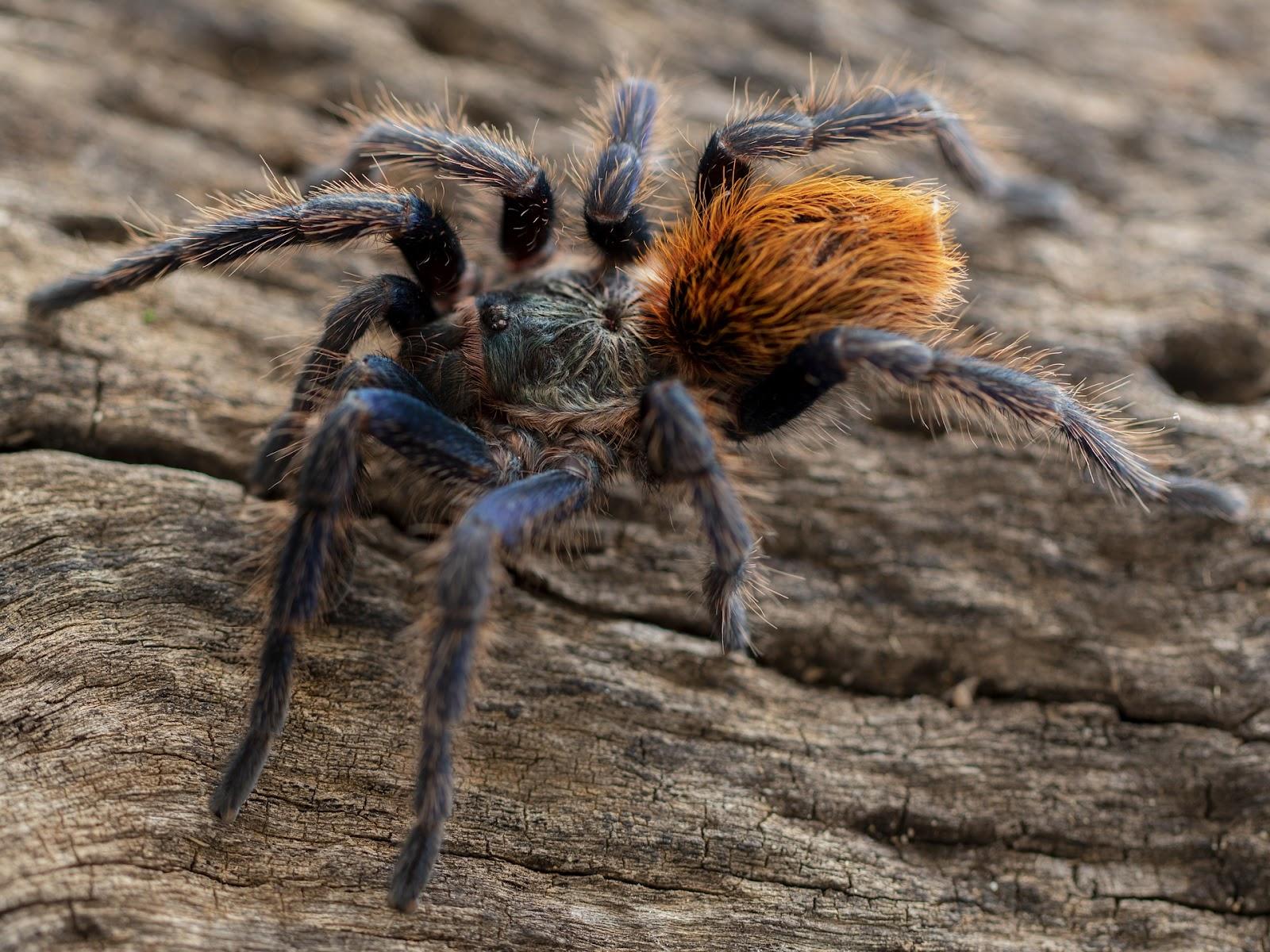 Tarantula crawling on bark
