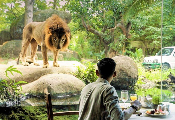 Tsavo Lion Restaurant main residents in bali safari and marine park