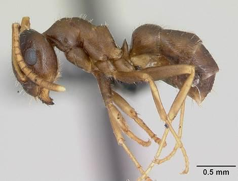 File:Lasius neglectus casent0173143 profile 1.jpg