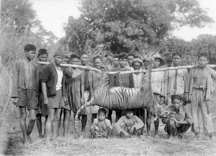 Harimau-Jawa-di-Maliping-Banten 1941.jpg