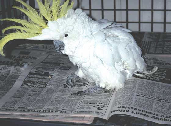 A wild-caught sulfur-crested cockatoo (Cacatua galerita galerita) which is fed a seed diet, displays poor feathering