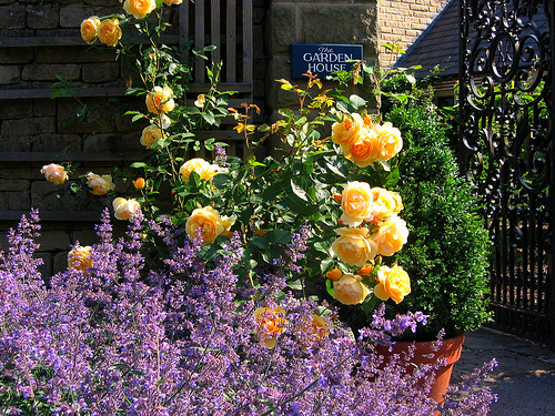 Розы уход. Розы уход весной
