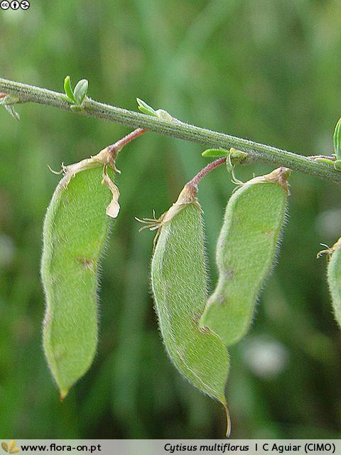 Cytisus multiflorus - Fruto | Carlos Aguiar; CC BY-NC 4.0