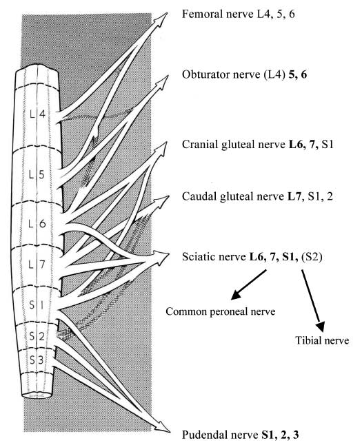 Peripheral nerve formation from the spinal cord segments of the lumbar intumescence in the dog