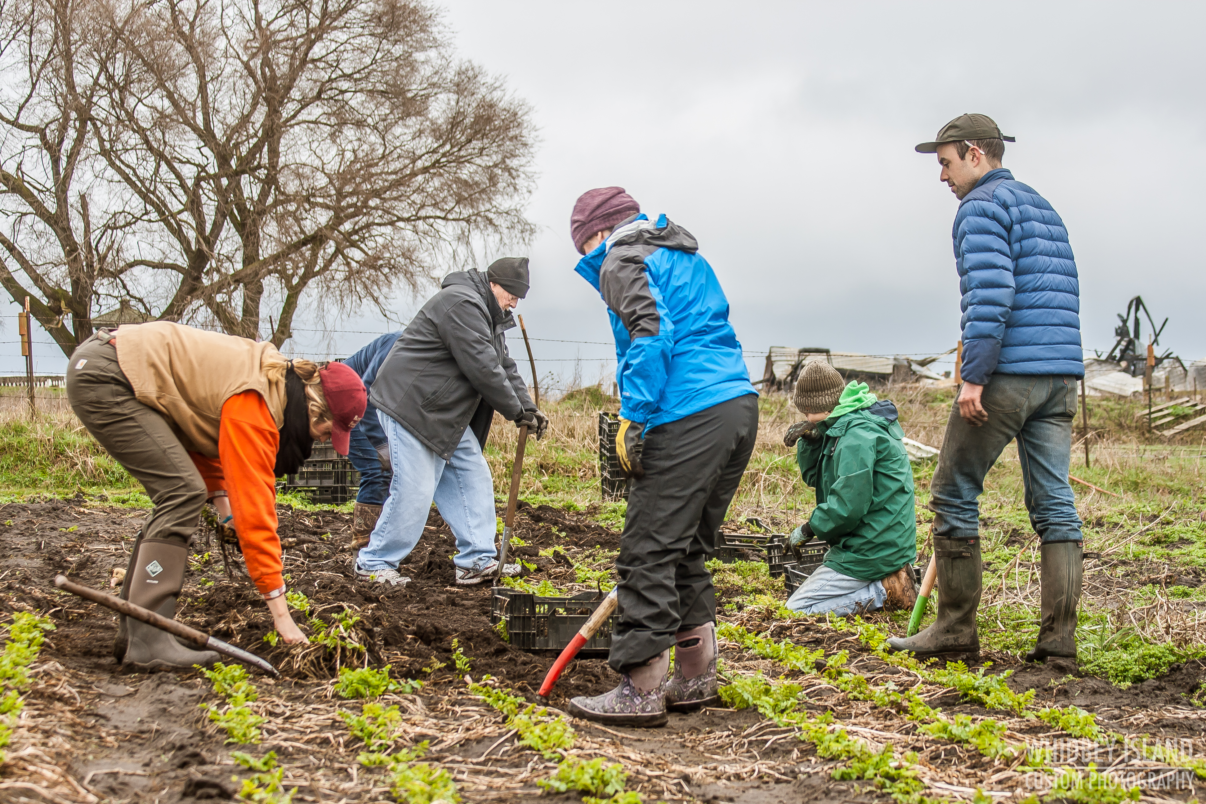 Volunteers harvesting parsnips at Willowood Farm of Ebey's Prairie three days after the Smith Barn fire.