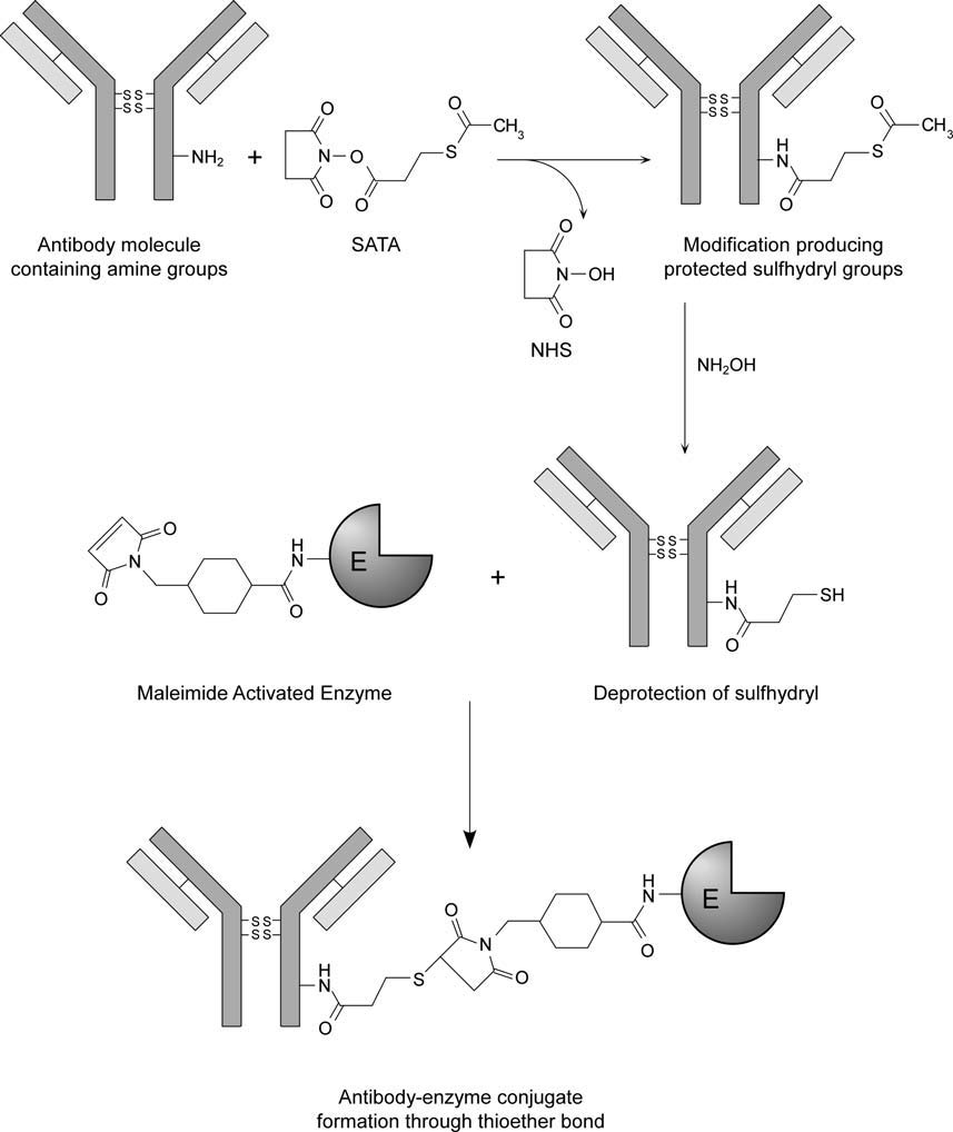 Lysine groups on antibodies can also be used for protein protein conjugation between antibodies and enzymes.