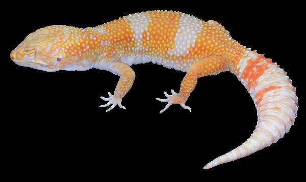 Image result for giant leopard gecko