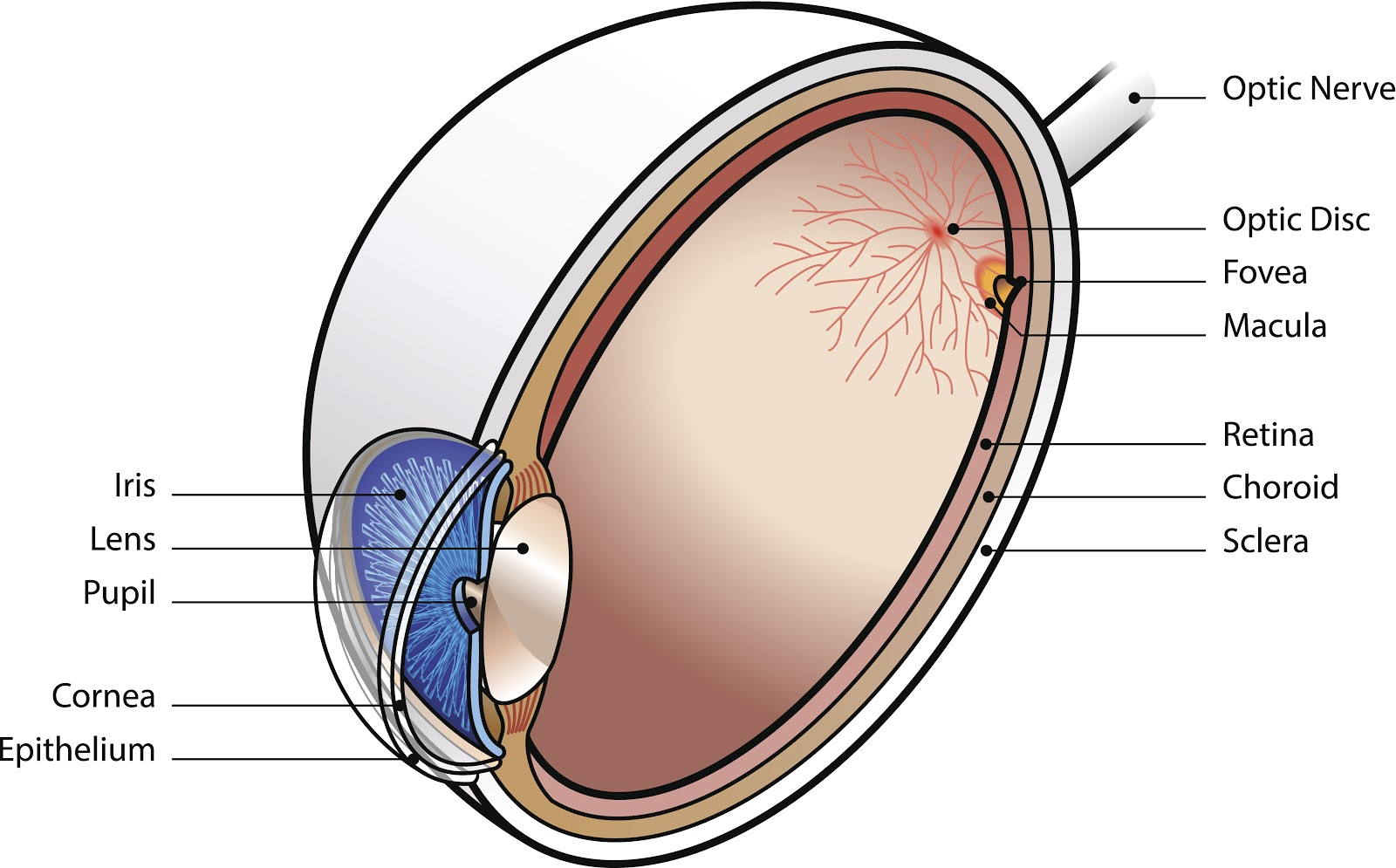 human eye anatomy identifying the macula