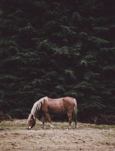 A sorrel horse grzaing