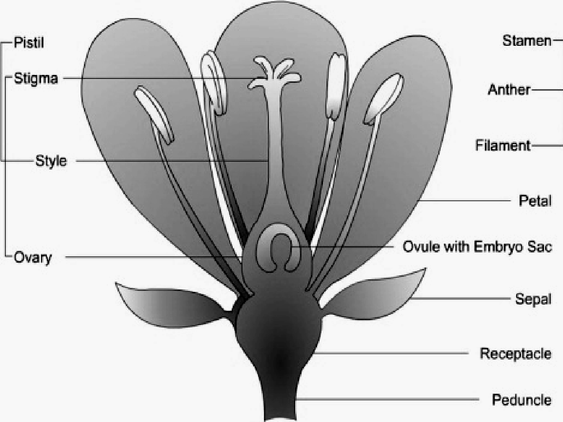 Botanica Ch Flower And Discription Of Flowering Plants