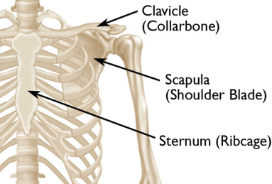 clavicle