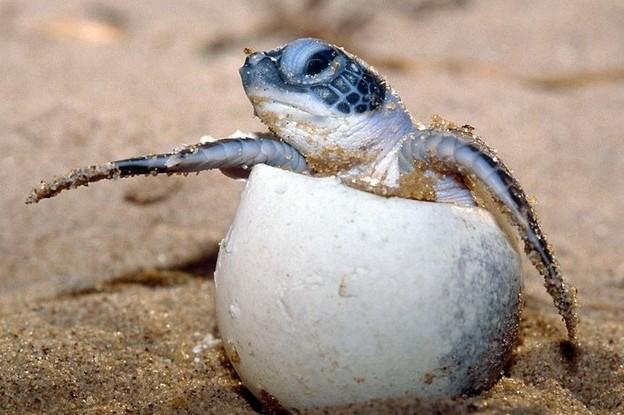 http://www.afrique-en-vie.com/IMG/jpg/tortue-luth-bebe-1.jpg