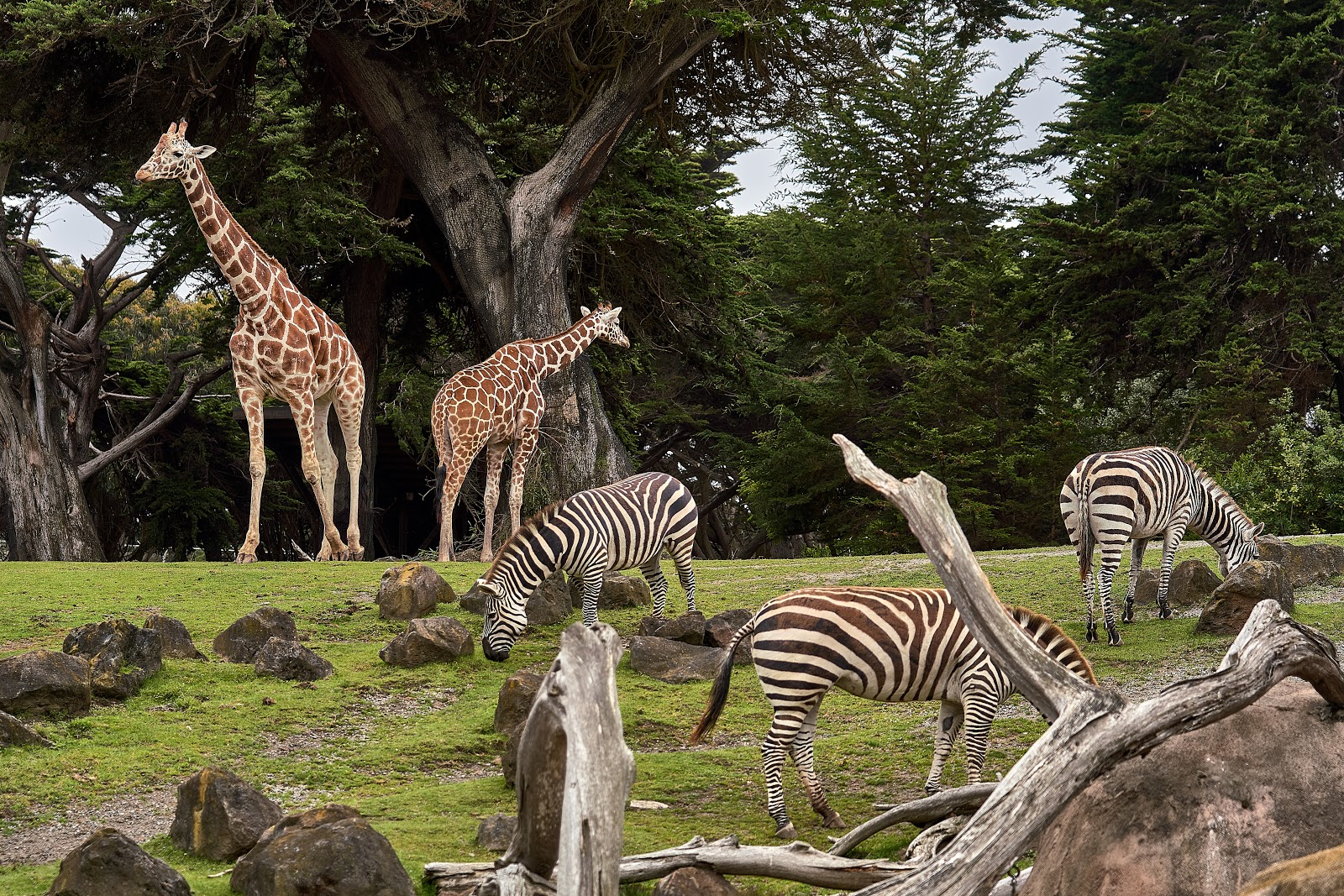 Photo of three zebras and two giraffes in green grass with trees in the distance