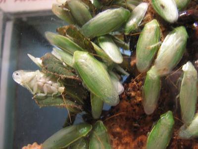 小強竟然能當寵物養?幾種罕見的蟑螂,還有帶骷髏頭的!