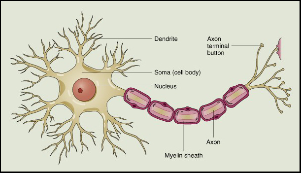 The Nervous System Web Biology – Neuron Worksheet