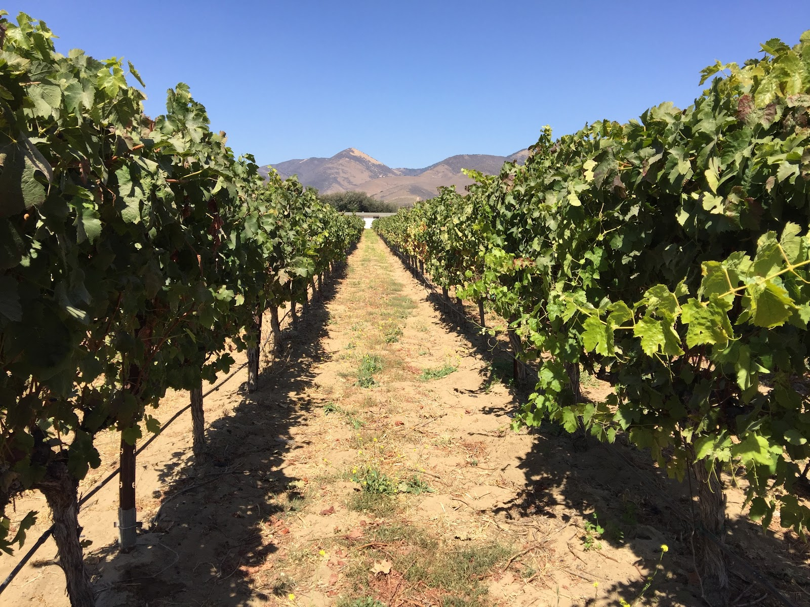 Grenache vines right next to Qupe's winery. Their Syrah comes from another plot