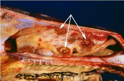 Fungal rhinitis with focal destructive lesions due to Conidiobolus coronatus.