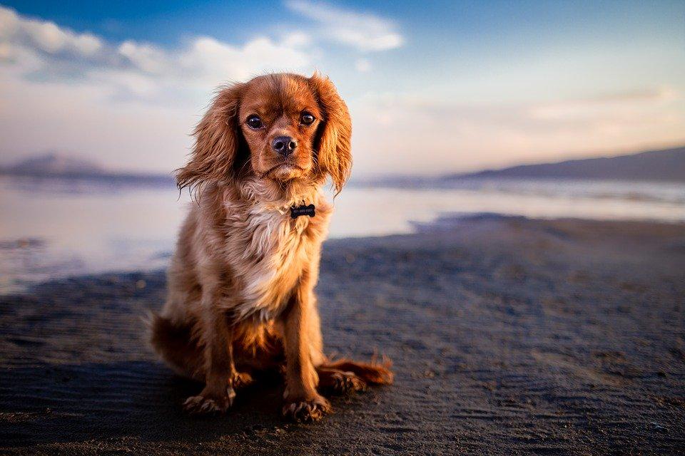 Adorabile, Animale, Beach, Cane, Carino, Peloso