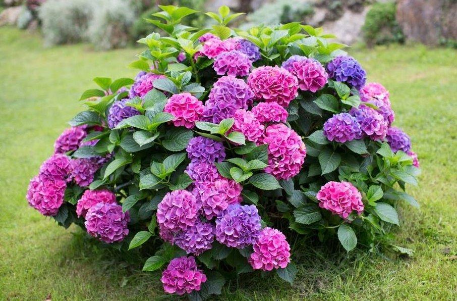 Как рассадить гортензию садовую: выбор места