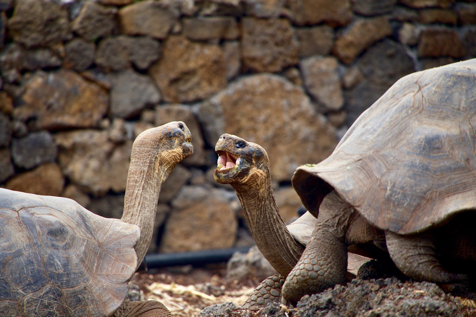 Two tortoises about to fight