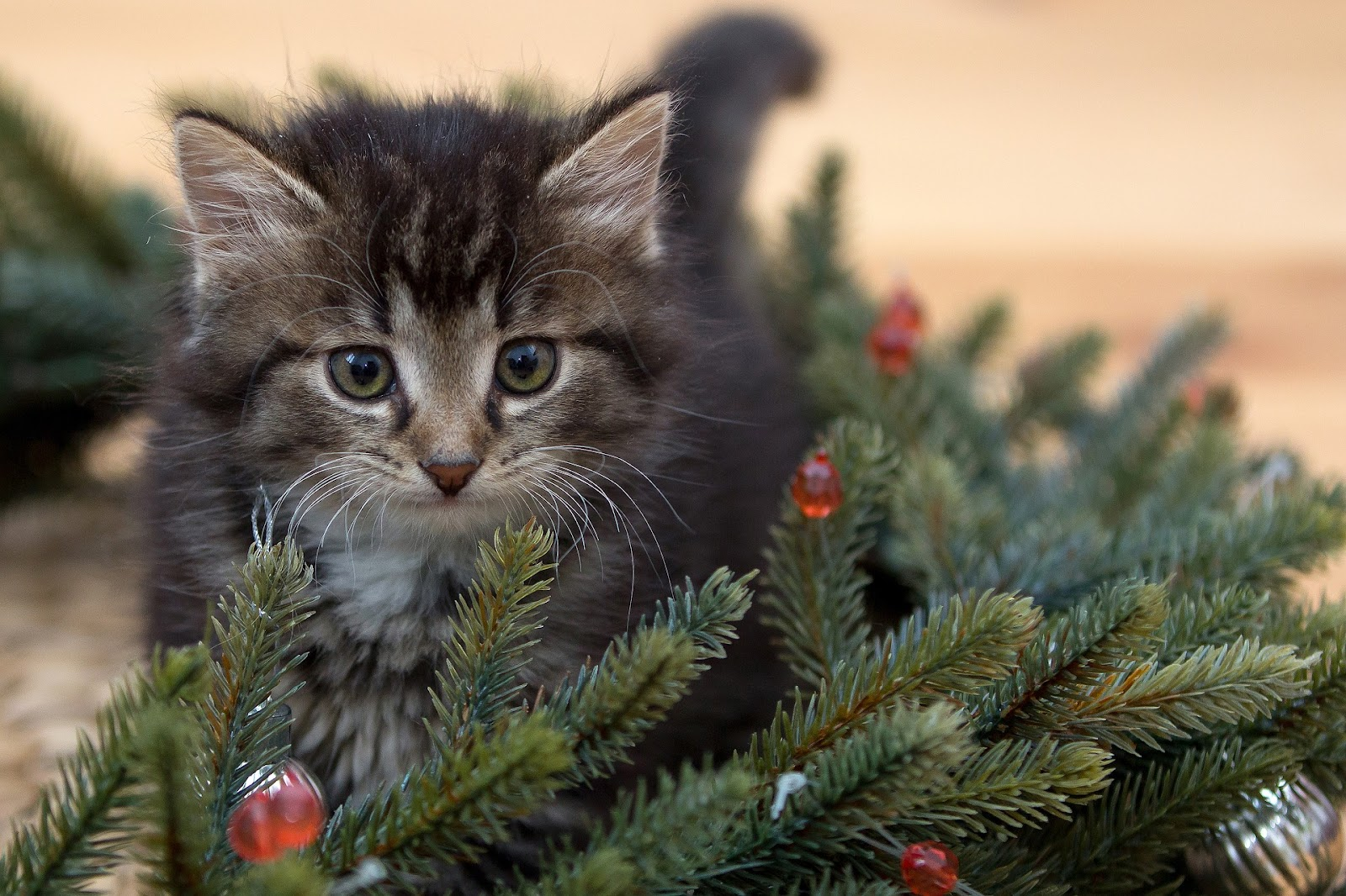 kitten in artificial Christmas tree branches with red holiday lights