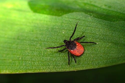 Zwarte En Rode Spin Op Groen Blad