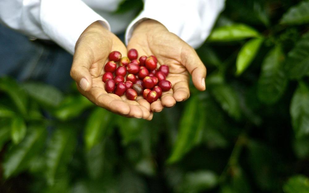 hands holding ripe coffee