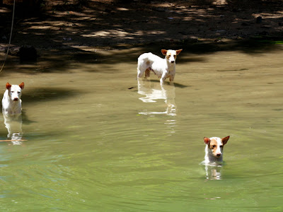 River Dogs in Bohol