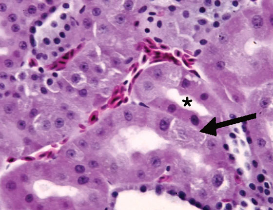 Histologically normal renal tissue from an adult hyacinth macaw (Anodorhynchus hyacinthinus)