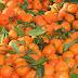 Δωρεάν ποσότητες μανταρινιών και πορτοκαλιών σε μη προνομιούχους στο Δήμο Λαυρεωτικής