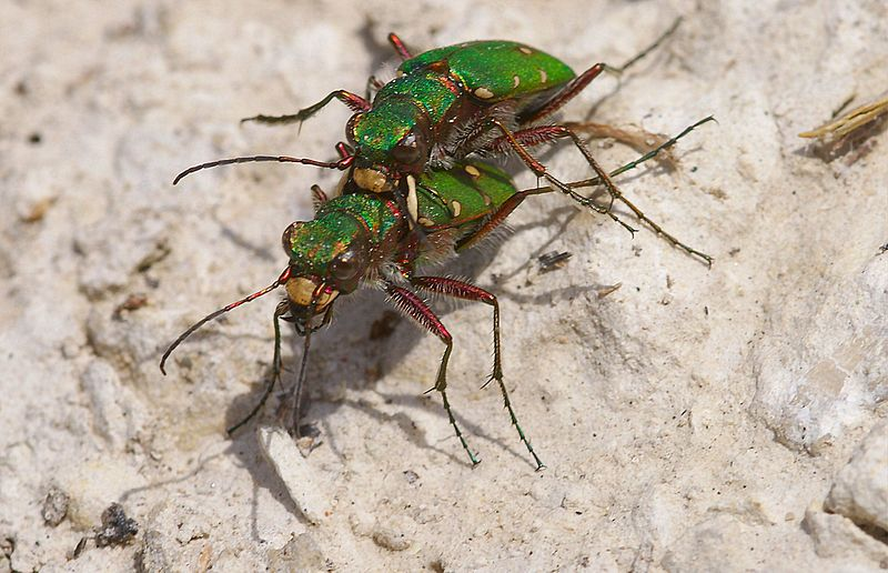 800px-Mating_Green_Tiger_Beetles_front_view.jpg