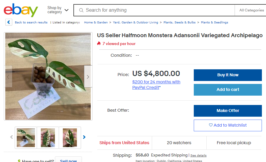 Monstera Adansonii Variegated Archipelago selling for USD$ 4,800