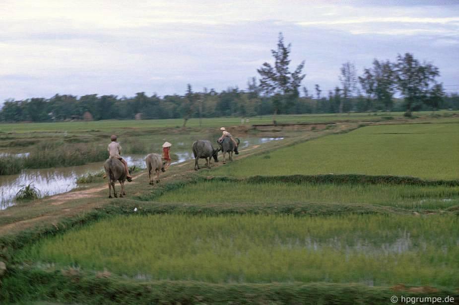 Mỹ Lai: Chăn trâu