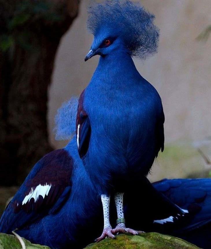 11. Blue Crowned Pigeon