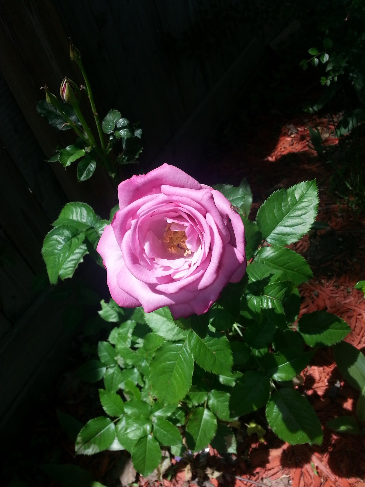 Barbra Streisand rose image