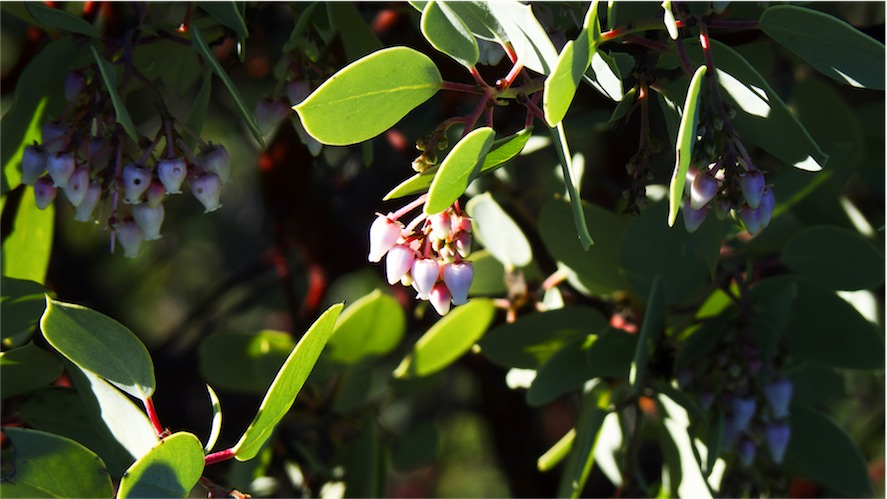 Manzanita 3.jpg