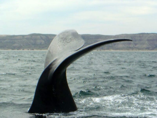 Whale watching  in Halbinsel Valdes