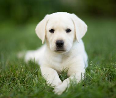 seeking-a-service-opportunity-raise-a-service-pup.jpg