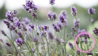 https://1.bp.blogspot.com/-KQxcS12eC30/X_Pc8-Esk5I/AAAAAAAABGU/GN-aoKOUUI8hb96_b7CpQg-8KOx-reoEQCLcBGAsYHQ/s320/lavender%2Bplant.jpeg