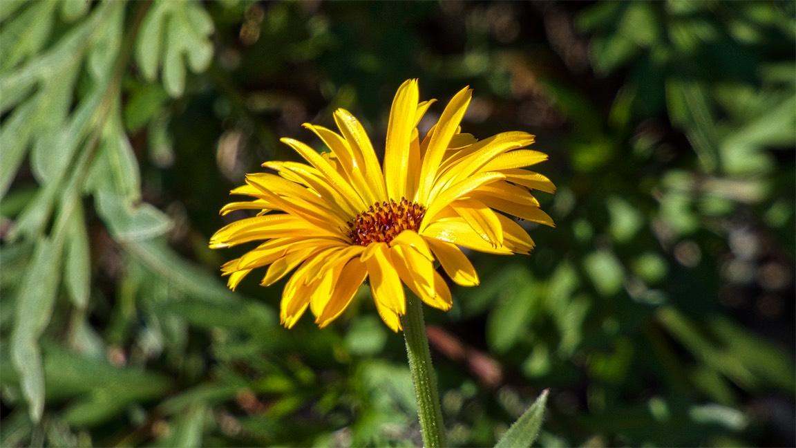 Sun Daisy 2.jpg