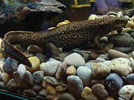 Description: Paramesotriton_hongkongensis- wiki.JPG