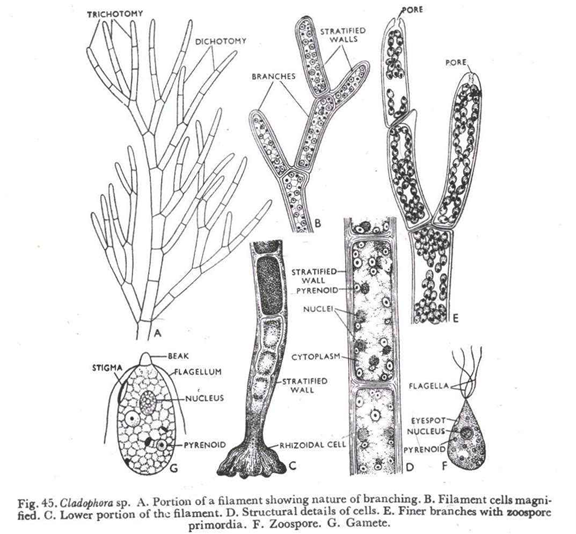 Classification of Cladophorales and structure.