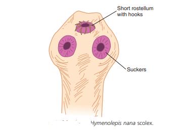 H.nana scolex