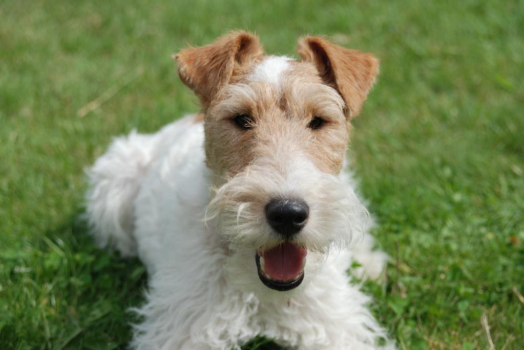 Gatsby, the wire fox terrier, looking cute   AHLN   Flickr