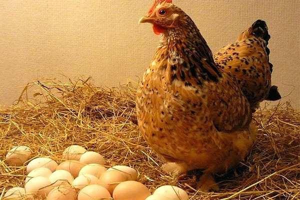 Mơ thấy một ổ trứng gà