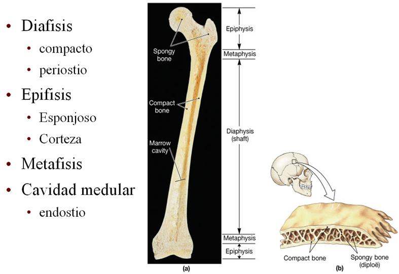 Aula virtual anatomia basica: 3.05 Estructura macroscópica del hueso
