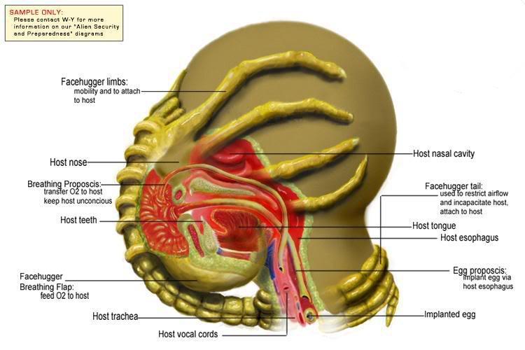 http://vignette2.wikia.nocookie.net/avp/images/b/b1/Facehugger_Diagram.jpg/revision/latest?cb=20100323195903